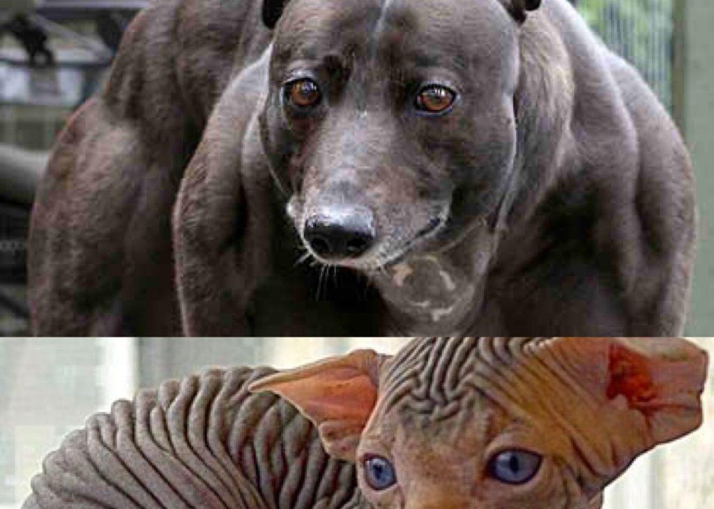 Maltrattamento genetico animale